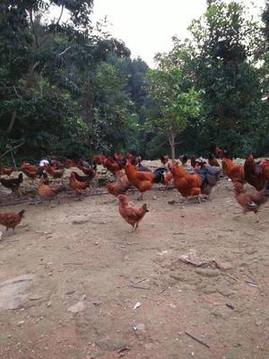 广西壮族自治区崇左市江州区那娘野生养殖土鸡 公 2-3斤
