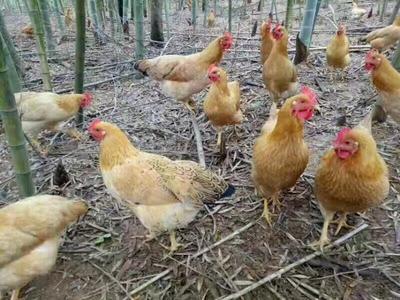 安徽省宣城市宣州区土鸡 公 3-4斤