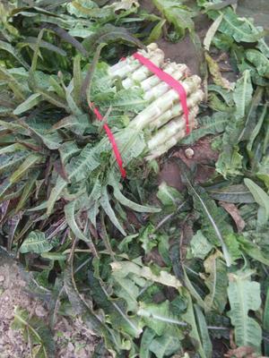 河南省开封市通许县红叶莴笋 60-70cm 1.5~2.0斤