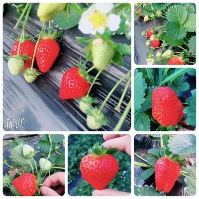 安徽省阜阳市颍泉区宁玉草莓 20克以上