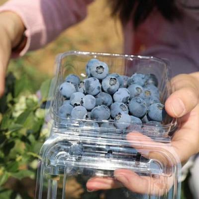 山东省淄博市沂源县杜克蓝莓 鲜果 12 - 14mm以上