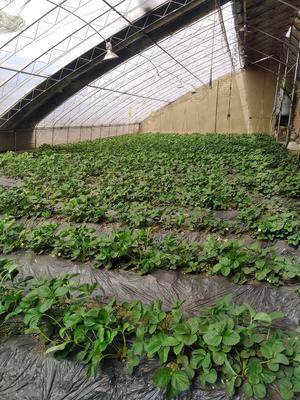 这是一张关于四季草莓苗 地栽苗 20~30公分的产品图片