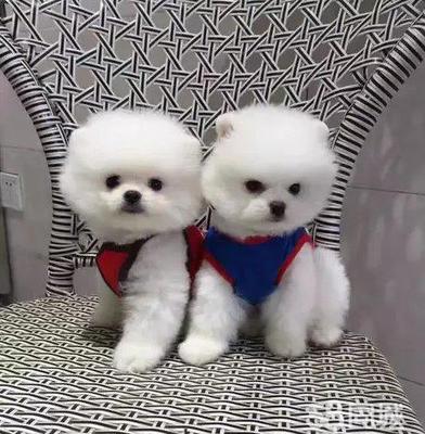 这是一张关于惠比特犬的产品图片