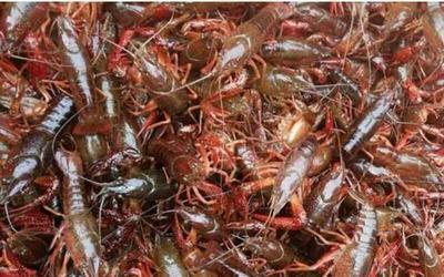 这是一张关于清水小龙虾 人工殖养 4-6钱的产品图片