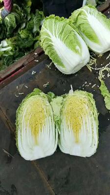 河北省保定市定州市黄心大白菜 3~6斤 净菜