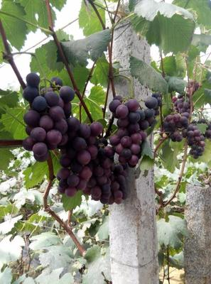 山东省青岛市莱西市巨峰葡萄 5%以下 1次果 0.6-0.8斤