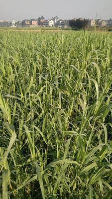这是一张关于芦竹的产品图片