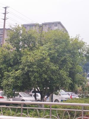 广西壮族自治区柳州市融水苗族自治县八月桂