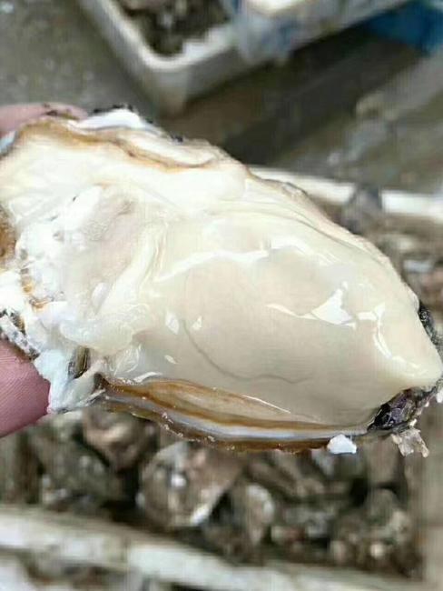乳山牡蛎 人工殖养 5-10只/公斤