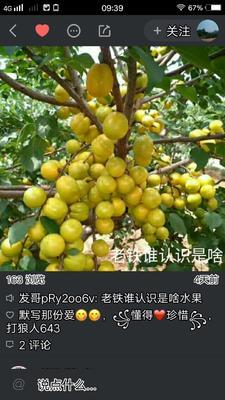 山东省临沂市蒙阴县金太阳杏 45mm以上