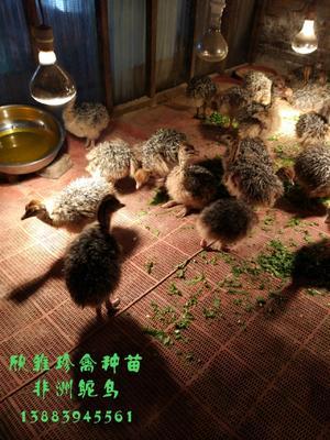 这是一张关于鸵鸟苗的产品图片