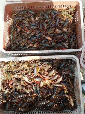 这是一张关于青红虾 人工殖养 7-9钱的产品图片