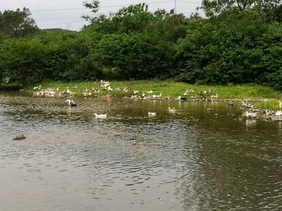 广西壮族自治区钦州市钦北区土鸭 统货 全散养 5-6斤