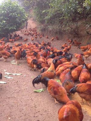 广西壮族自治区玉林市博白县阉鸡 统货 5-6斤