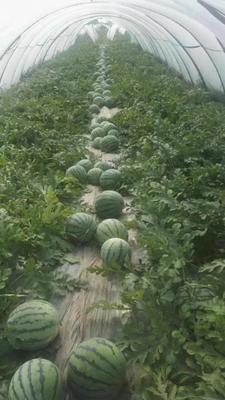 这是一张关于麒麟西瓜 无籽 1茬 8成熟 7斤打底的产品图片