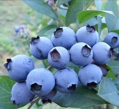 这是一张关于北高从蓝莓苗的产品图片