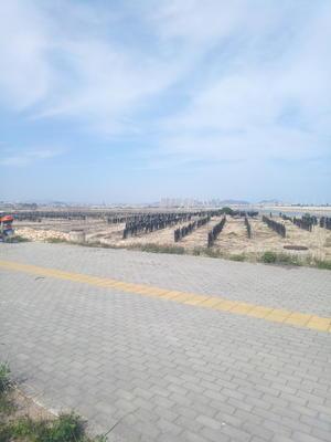 福建省莆田市秀屿区海带干