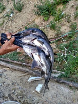 这是一张关于水库鲤鱼 人工养殖 0.25-1龙8国际官网官方网站的产品图片