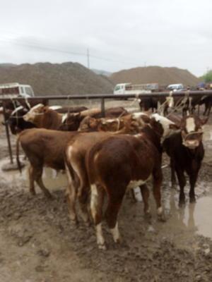 甘肃省陇南市礼县西门塔尔牛 400-600斤 公牛