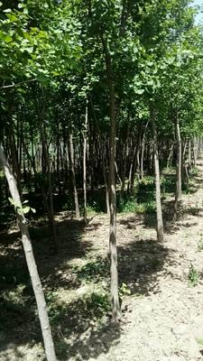 安徽省阜阳市阜南县银杏实生树
