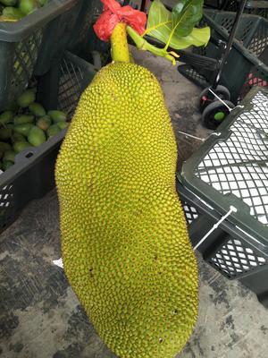 这是一张关于海南菠萝蜜 10-15斤的产品图片