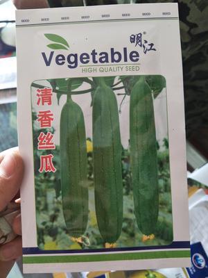 江苏省宿迁市沭阳县丝瓜种子