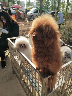 山东省济宁市嘉祥县泰迪犬
