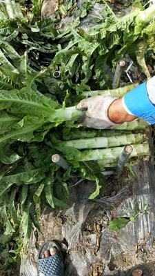 浙江省杭州市萧山区红叶莴笋 50-60cm 1.5~2.0斤