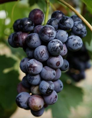 江苏省徐州市新沂市夏黑葡萄 5%以下 1次果 1.5- 2斤