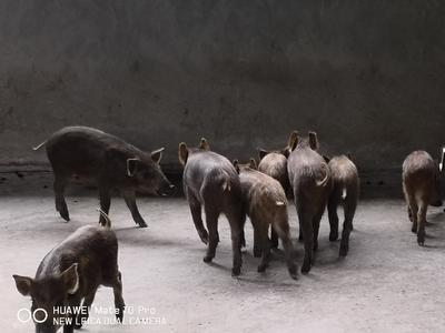 四川省阿坝藏族羌族自治州小金县特种野猪 20-30斤 统货