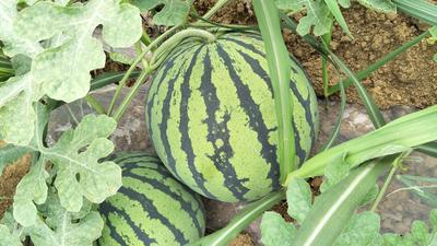广西壮族自治区崇左市江州区麒麟西瓜 有籽 1茬 6成熟 6斤打底