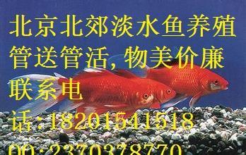 北京海淀区锦鲤鱼苗