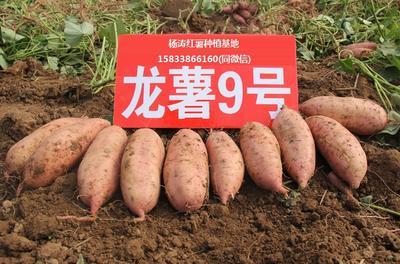 河北省保定市雄县龙薯九号 红皮 3两以上