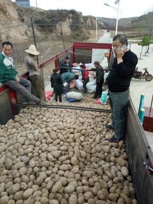 这是一张关于晋薯16号 3两以上的产品图片