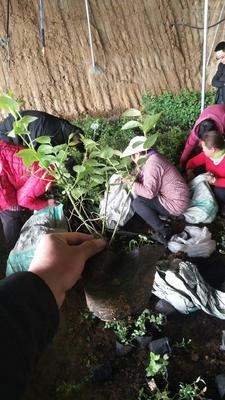 山东省泰安市岱岳区蓝莓组培苗