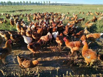 内蒙古自治区乌兰察布市兴和县柴鸡 统货 4-5斤