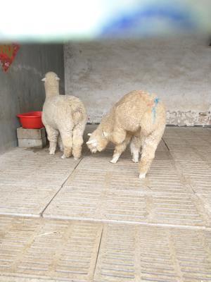 山东省济宁市嘉祥县澳洲羊驼