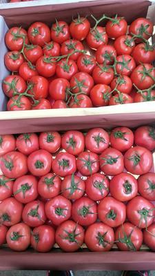 安徽省芜湖市鸠江区大红西红柿 不打冷 硬粉 通货