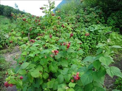 这是一张关于双季树莓苗的产品图片