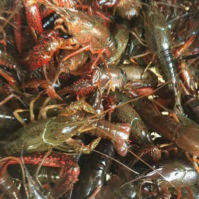 广东省深圳市福田区澳洲龙虾 进口 0.4-0.6斤/只