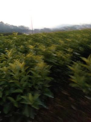 广西壮族自治区桂林市荔浦县纽荷尔脐橙苗 嫁接苗 0.5米以下