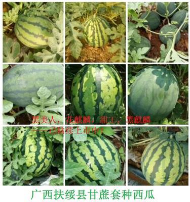 广西壮族自治区崇左市扶绥县黑美人西瓜 有籽 1茬 6成熟 8斤打底
