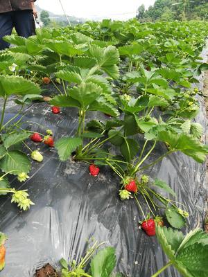 重庆万州区红颜草莓 20克以上