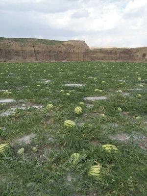 这是一张关于硒砂瓜 有籽 1茬 8成熟 8斤打底的产品图片