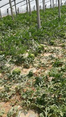 河北省衡水市阜城县京欣西瓜 有籽 1茬 9成熟 8斤打底