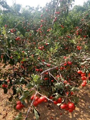 这是一张关于大金星山楂树苗的产品图片