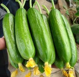 山东省青岛市平度市荷兰小黄瓜 18~22cm 干花带刺