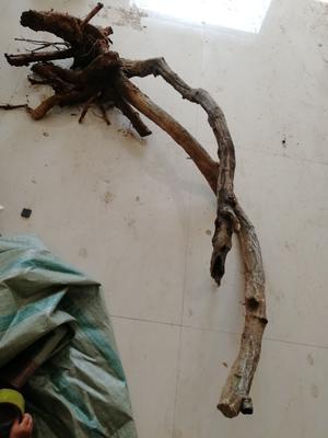 河南省驻马店市确山县重瓣紫藤 1.5~2米 4~5公分