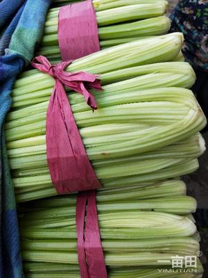 河北省邯郸市永年县黄芹菜 40~45cm 大棚种植 0.5斤以下