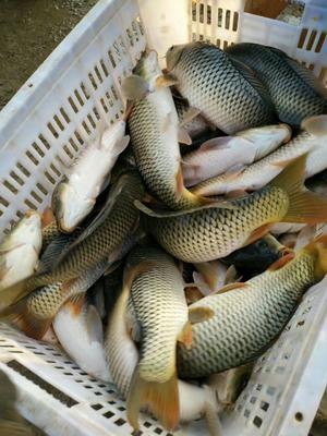 河南省郑州市金水区池塘鲤鱼 人工养殖 0.5-2.5公斤